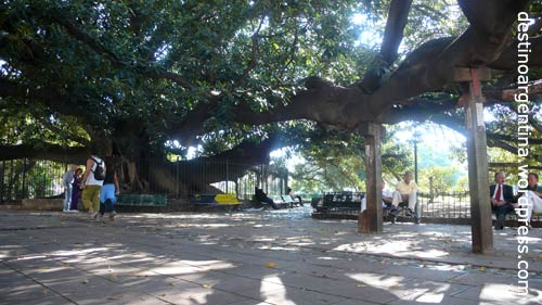 Großer Gummibaum in Recoleta Buenos Aires (Gran Gomero)
