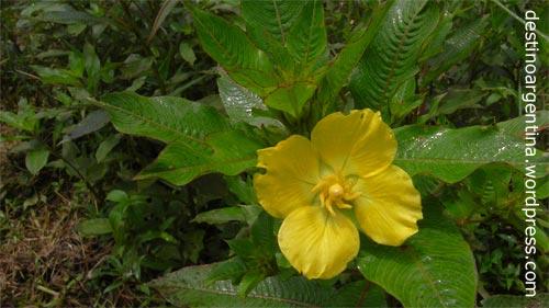 Gelbe Blüte im Parque Nacional Iguazú in Argentinien