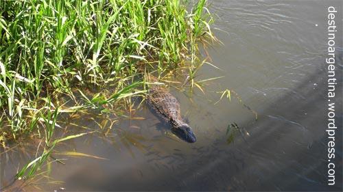Krokodil im Iguazú Nationalpark in der Provinz Misiones in Argentinien