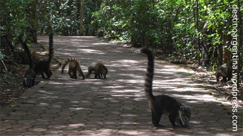 Nasenbären auf dem Sendero Verde im Iguazú Nationalpark in Argentinien